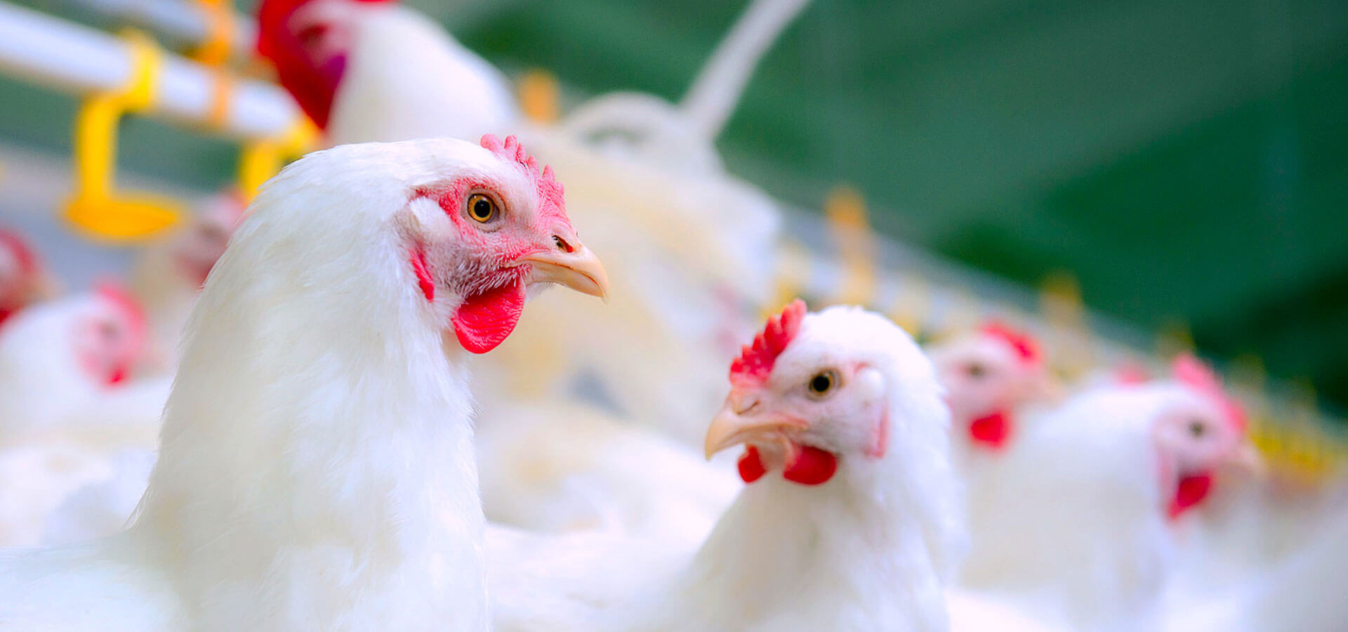 Poultry Feed Supplement Manufacturers